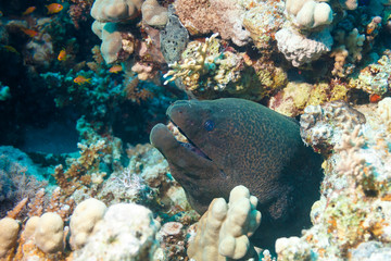 Portrait of the Moray sitting in the corals.