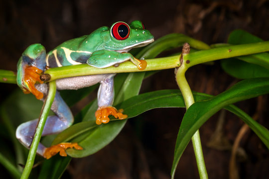 The red eyed tree frog lie on the plant stem and dreaming about cricket