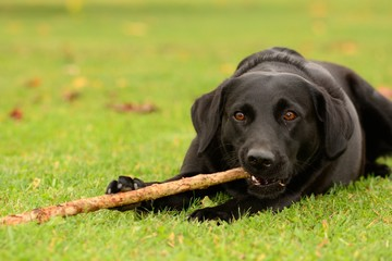 Portrait of a black Labrador chewing a stick