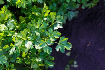 Parsley growing in garden. Petroselinum leaves. Fresh organic parsley