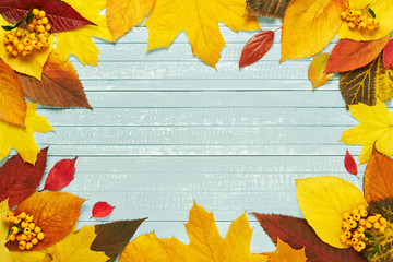 Autumnal frame for your idea and text. In autumn, fallen dry leaves of yellow, red, orange with bunches of yellow berries, aligned along the perimeter of the frame on an old wooden board of soft blue