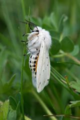 White Ermine Moth (Spilosoma lubricipeda)/White Ermine Moth (Spilosoma lubricipeda) in thick green foliage