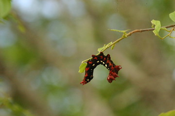 Caterpillar in red and black
