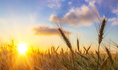Photo sur Plexiglas Culture Sun Shining over Golden Barley / Wheat