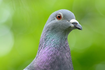 Head shot of a pigeon
