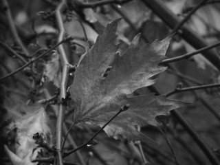 Plane Tree Leaf - Black & White Close Up