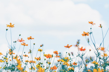 Cosmos flower field with blue sky and cloud background