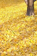 秋イメージ イチョウ 落葉
