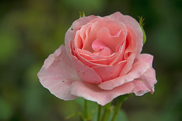 FLOWERS - rose on green background