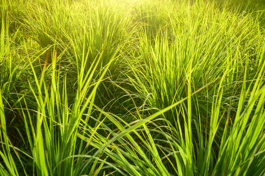 Lemongrass grown in the vegetable garden, herbs have medicinal properties.