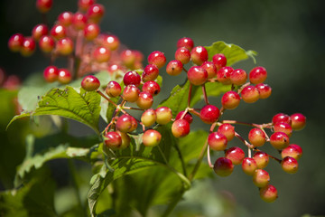 BERRIES - the guelder-rose keeps up