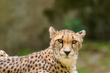 Closeup of a cheetah