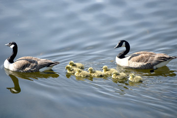 Canada geese with goslings on Rydalwater, Lake District