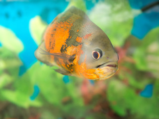 Bright Oscar Fish