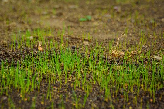 Wachsendes Gras frisch gesät