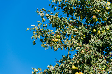 Pear tree with ripe fruits in the orchard