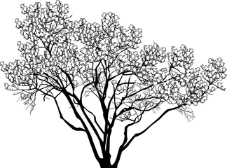large blossoming tree outline isolated on white