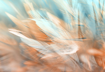 Colorful chicken feathers in soft and blur style, background is for backdrop design Wall mural