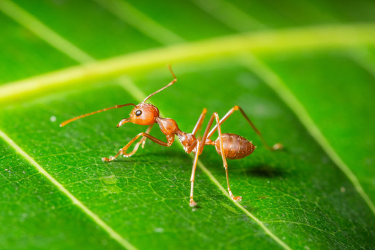 Macro red ant on a leaf