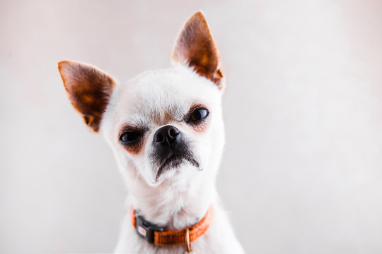 Evil Chihuahua looks into the camera with a displeased expression of the muzzle.