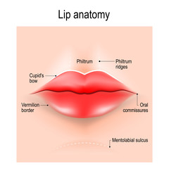 Anatomy of lips.