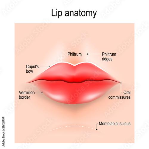 Anatomy of lips.\