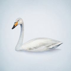 Watercolor illustration of white mute swan