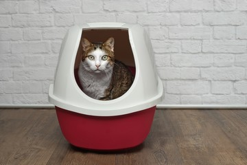 Cute tabby cat sitting in a red litter box and looking to the camera.