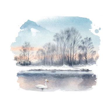 White mute swan on a lake. Watercolor painting