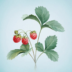 Watercolor illustration of strawberry bush