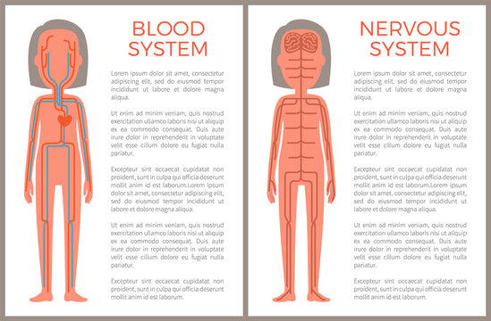 Blood and Nervous Systems Sample of Body Build