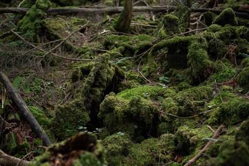 Deep forest jukai in japan