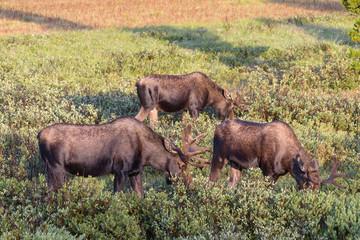 Bachelor Group of Bull Moose. Shiras Moose of The Colorado Rocky Mountains