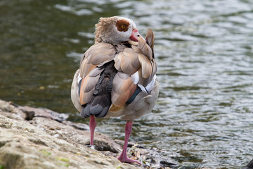 An Egyptian goose preening it,s fathers sanding beside a lake
