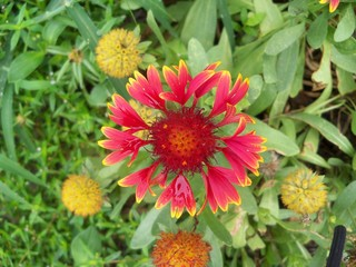 Galliardia or Blanket flower in red and yellow