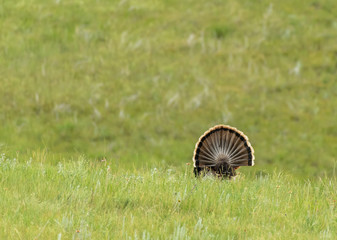 Tail Feathers of Turkey in Field