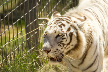 White tiger with grids in the zoo