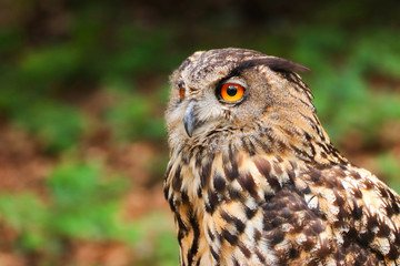 Fototapete - Portrait owl