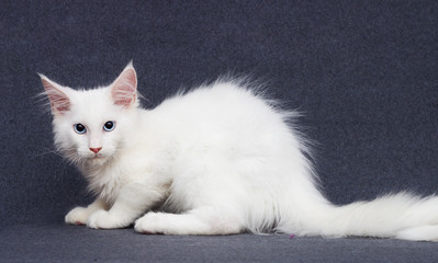 white kitten maine coon on a gray background