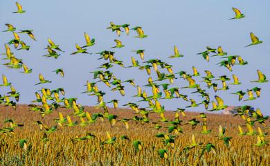White-eyed Parakeet flying Fotomurales