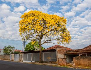 Golden Trumpet Tree on the street