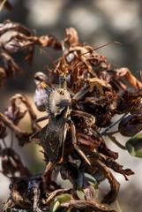 Wheel  bug photographed in Guarapari, Espírito Santo - Southeast of Brazil. Atlantic Forest Biome. Picture made in 2007.