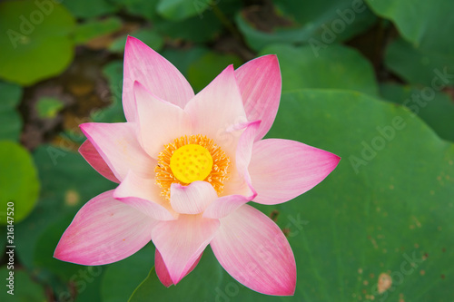 Lotus National Flower Of Vietnam Stock Photo And Royalty Free