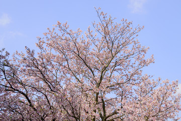 Beautiful sakura flower (cherry blossom) in spring.