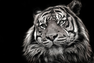 Wall Mural - Black and white image of a tiger in high quality