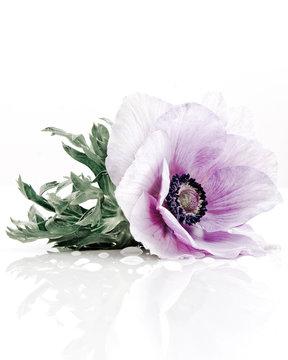 Lavender poppy