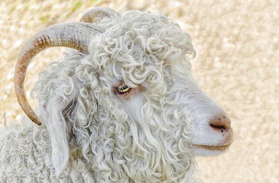 Portrait of a White angora goat, Australia