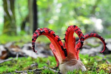 Octopus stinkhorn mushroom