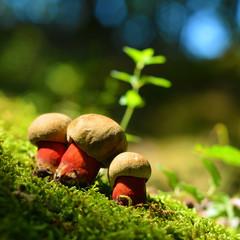 caloboletus calopus mushroom