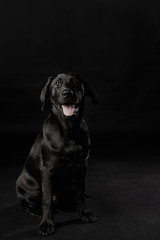 Young 4 Month Old Black Lab or Labrador Retriever Puppy Sitting Obedient Like A Good Boy